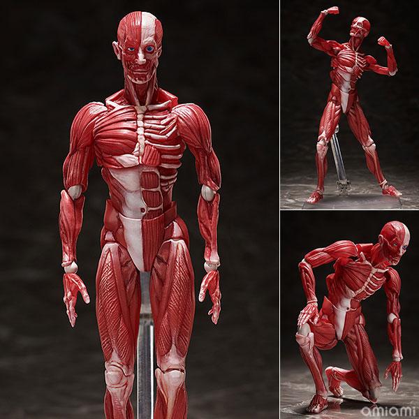figma『人体模型』可動フィギュア