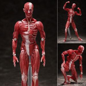 figma『人体模型』可動フィギュア【フリーイング】より2022年4月発売予定♪